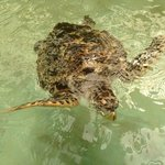 One of the larget turtles at the sanctuary