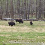 We were lucky we saw bisons.