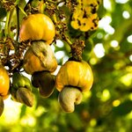 Cashew apples and cashew seeds (Maranon)