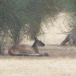 Kangaroo near carpark