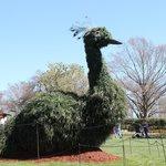Peacock Topiary