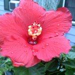 front door Dads hibiscus