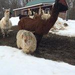 Llamas and sheep.