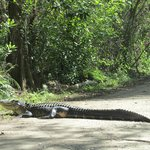 Juvenile gator in the road
