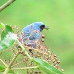 Masked Flower piercer