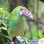 Crimson-rumped toucanet