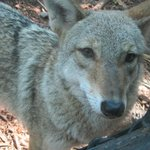 The coyote was especially playful