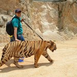 Walking with the Tiger