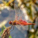 Red-veined Darter or Nomad