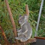 Cuddly Koala - definitely not a bear