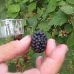 More, lamponi, frutti di bosco coltivati a Cascina Mirandola