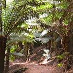 Walking path with stunning ferns