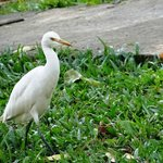 The egrets are bold!