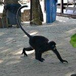непуганные  обезьяны около кафе развлекают народ