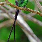 A grown up male Doctorbird