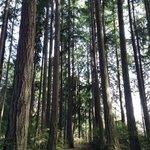 Walking through the towering evergreens