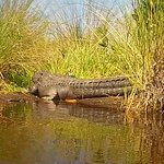 Gator basking in the sun...