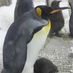 King Penguin and baby