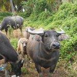 our neighbours - water buffalo