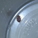 The bedbug I found in room 145.