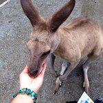 Hand feeding kangaroos