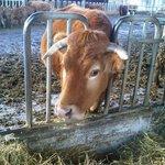 Vacca Umbra :)
