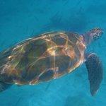 una delle tante tartarughe a Carlisle Bay