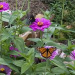 Zinnias and Butterflies