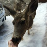 The deer will eat right out of your hand!