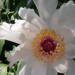 Villa Theresa's Garden: Peony Flower