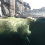 Isbjørn i nyt anlæg.