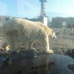 Isbjørn klar til fodring.