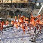 Farvestrålende flamingoflok.