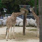 Zoo Palmyre, girafes