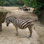 Zoo Palmyre, zébres