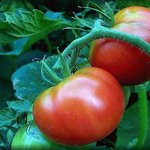 tomates del huerto en verano