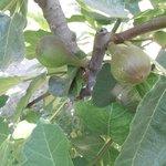 la higuera y sus frutos