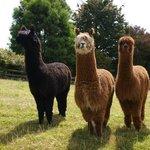 Meet Harry, Draco, and Ron the alpacas