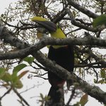Chestnut-mandibled Toucan at The Springs