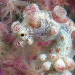 No mention of Wakatobi resort or Pelagian dive yacht would be complete without pygmy seahorses.