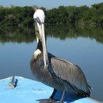 Brown Pelicanos