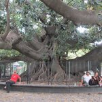 The Big Tree's Trunk in Recoleta
