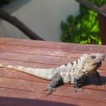 Iguana at Azur