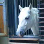 The beautiful Lipizzaner Stallions