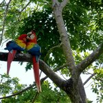 A pair of macaws up in the trees