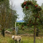 large plot of land includes sheep, chicken, pigs, fruit trees & more