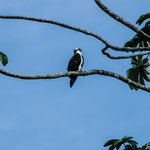 Osprey by the lakeside.