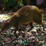 Agouti under the trees near our room.