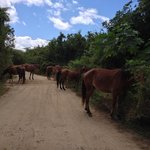 "Wild horses, like these, roam the island.  I call this shot ""Rush Hour in Vieques."""
