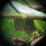 Fruit bats hiding under leaves, as seen through the scope